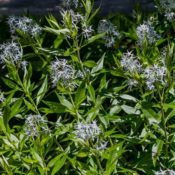 Amsonia illustris Shining Blue Star