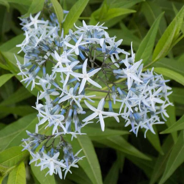 Amsonia tabermontana, Blue Star