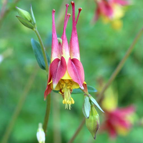 Aquilegia canadensis Missouri native columbine