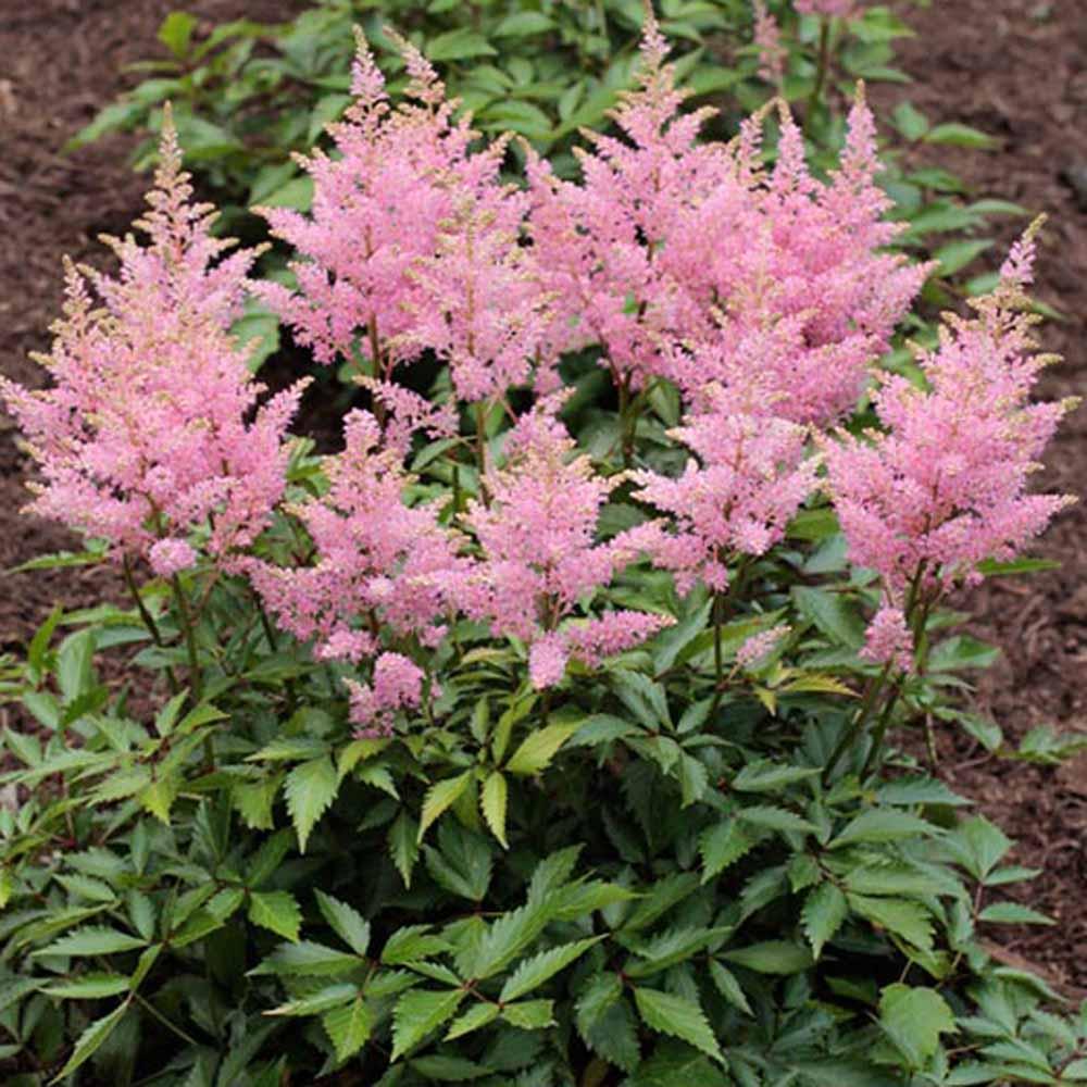 Astilbe Vision In Pink, Astilbe