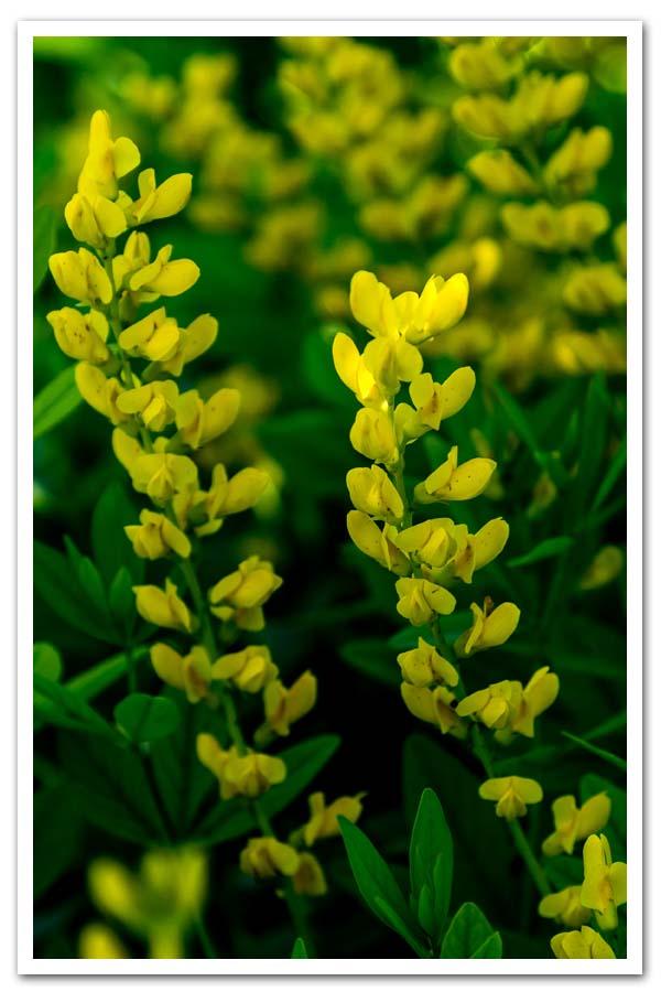 Baptisia spaerocarpa-Yellow-Wild-Indigo