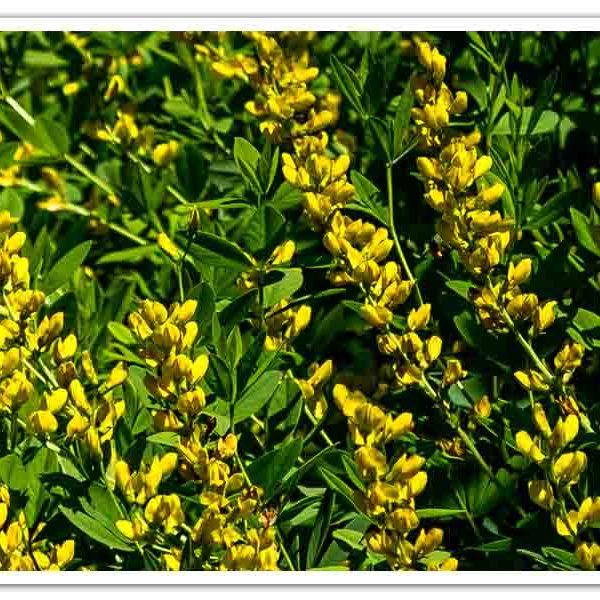 Baptisia spaerocarpa Yellow Wild Indigo