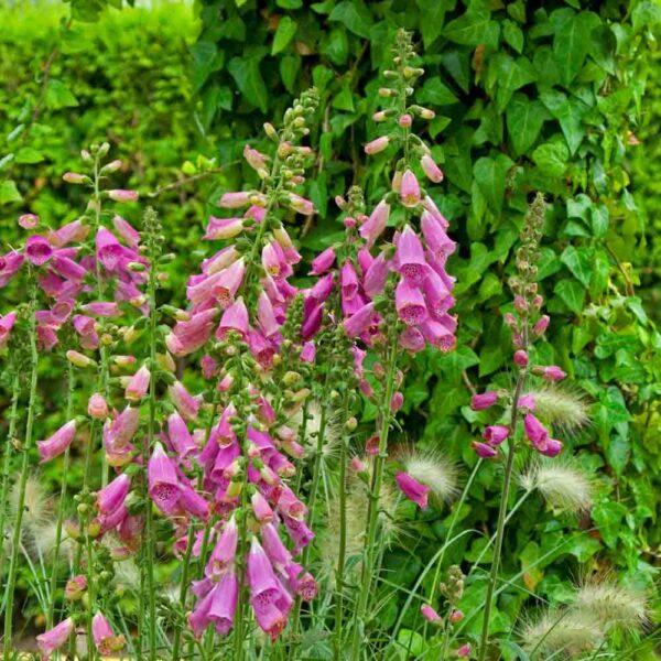 Digitalis_Camelot_Rose_Garden Foxglove