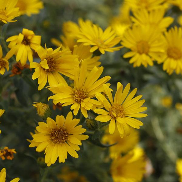 Heliopsis helianthoides Missouri Sunflower