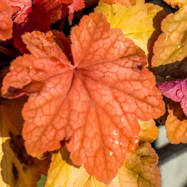 Heuchera Orange Dream Coral Bell