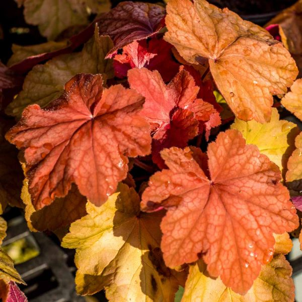Heuchera Orange Dream Coral Bell