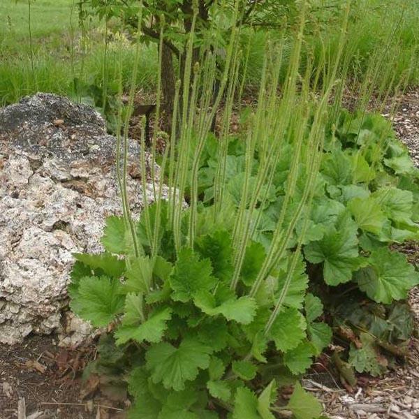 Heuchera richardsonii Alum Root
