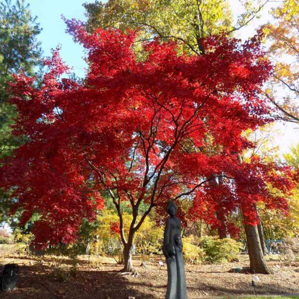 Acer Bloodgood Japanese Maple