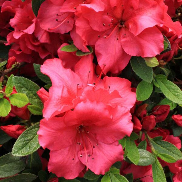 Azalea Bloom-A-Thon Red – Reblooming Azalea