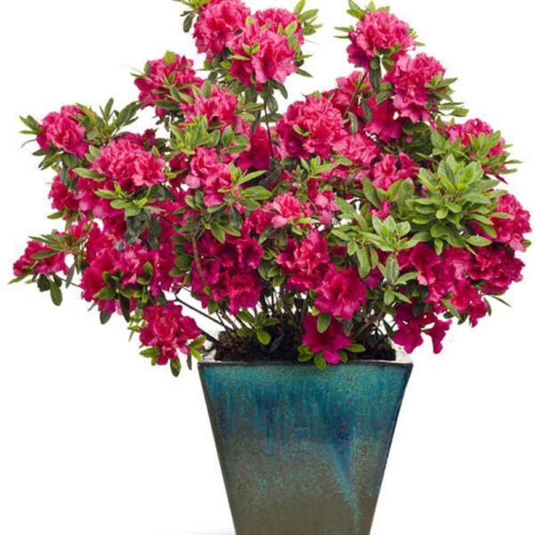 Azalea Bloom-A-Thon Red, Reblooming Azalea