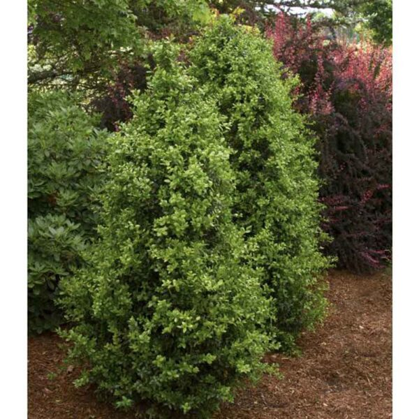 Buxus Green Tower Boxwood