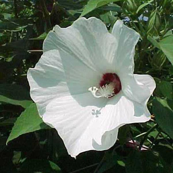 Hibiscus lasiocarpus Rose Mallow