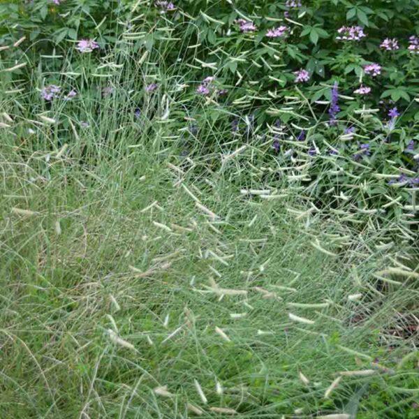 Bouteloua Blonde Ambition, Blue Gramma Grass