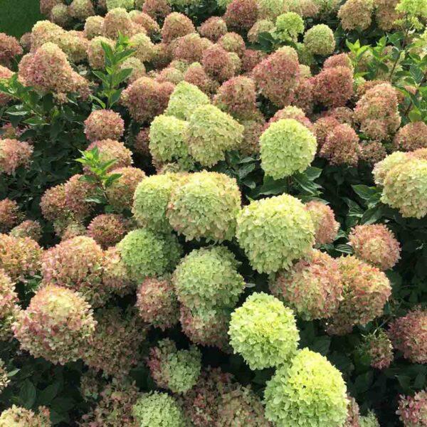 Hydrangea Little Lime, Panicle Hydrangea