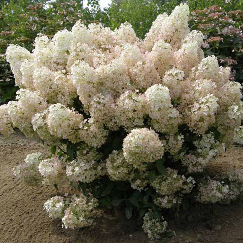 hydrangea paniculata bobo panicle hydrangea sugar creek. Black Bedroom Furniture Sets. Home Design Ideas