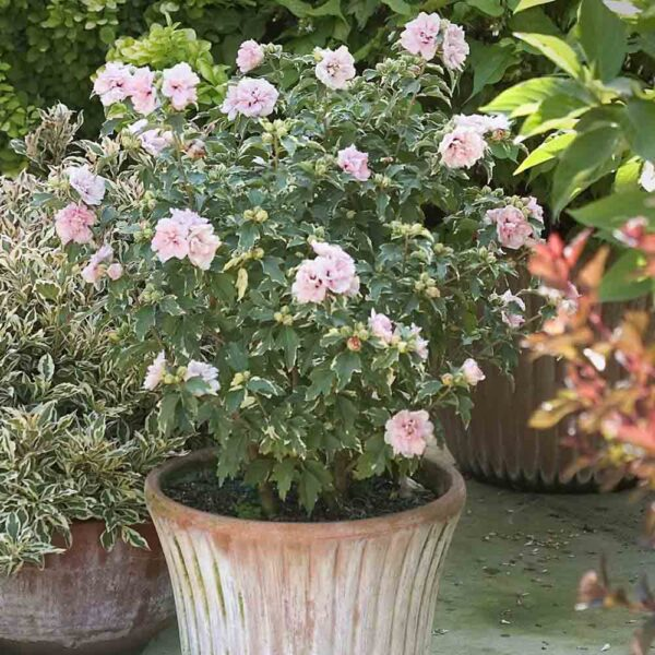 Hibiscus Sugar Tip Rose of Sharon Shrub