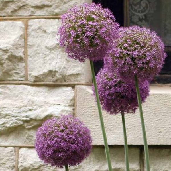 Allium Globemaster Ornamental Onion – 1 Bulb Preorder