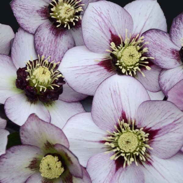 Helleborus French Kiss, Lenten Rose