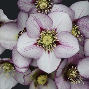 Helleborus French Kiss, Lenten Rose