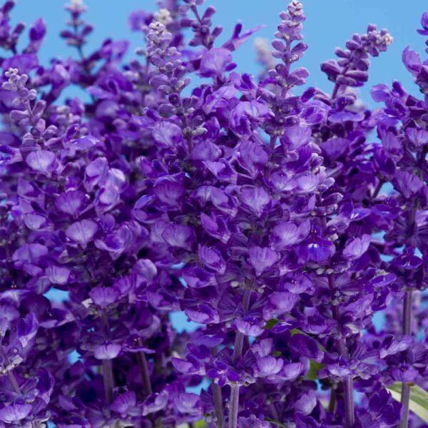 Salvia Catherdral Deep Blue, Mealycup Sage