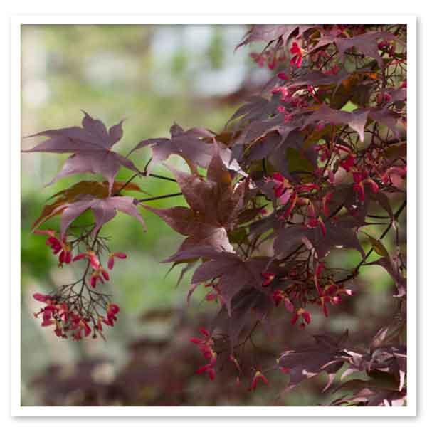 Acer Bloodgood, Japanese Maple