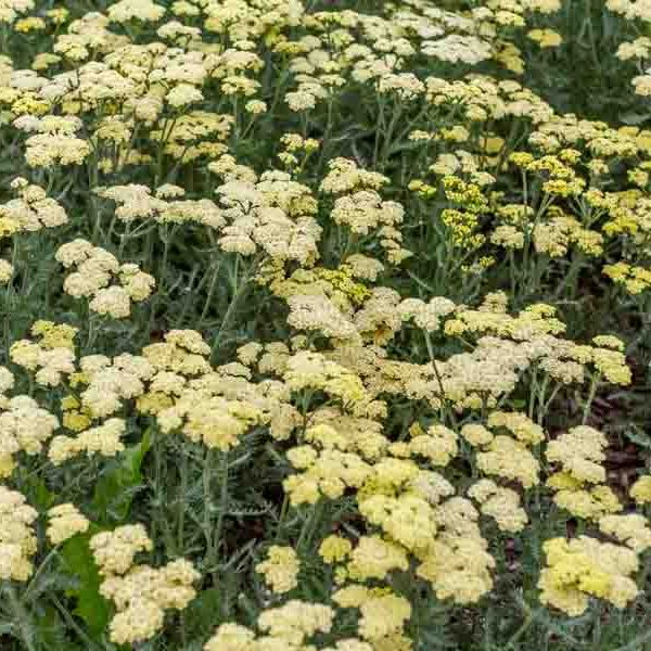Achillea Moon Dust, Yarrow