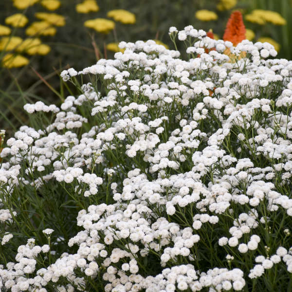 Achillea-Peter-Cottontail-Yarrow.jpg