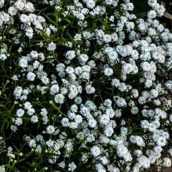Achillea Peter Cottontail, Yarrow