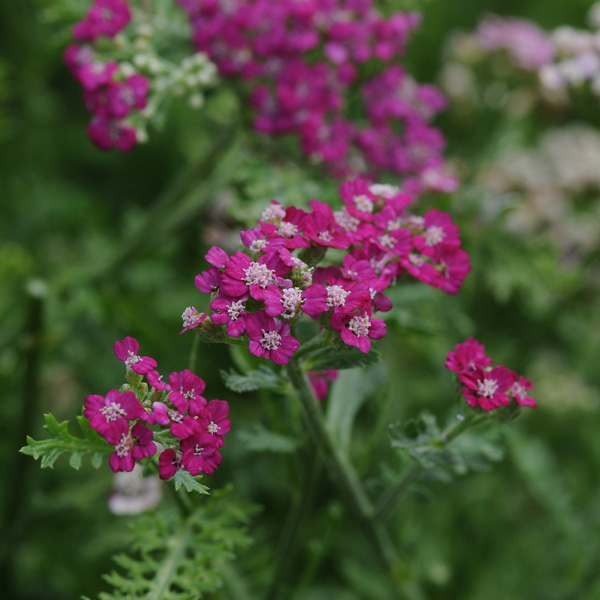 Achillea New Vintage Series, Yarrow