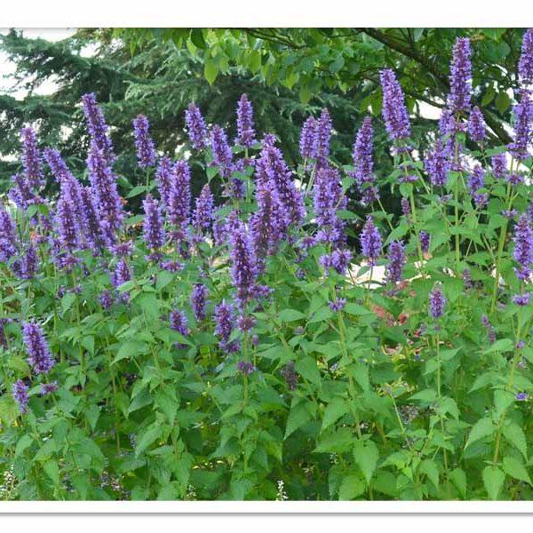 Agastache Blue Boa, Hummingbird Mint