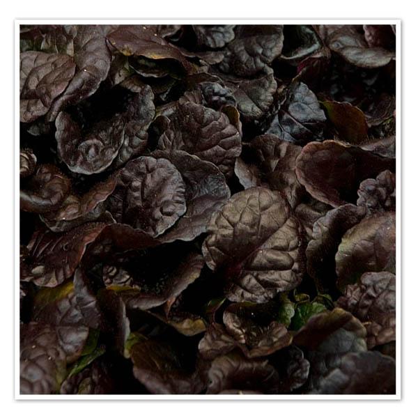 Ajuga Black Scallop, Bugleweed