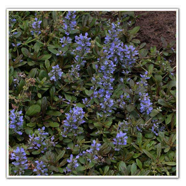 Ajuga Chocolate Chip, Bugleweed