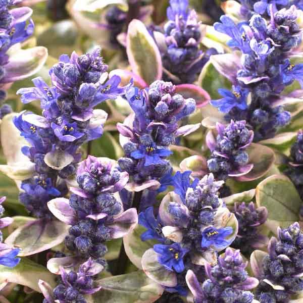 Ajuga-Princess-Nadia flowers