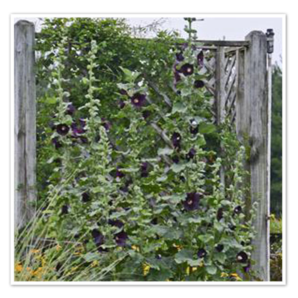Alcea Blacknight Hollyhock