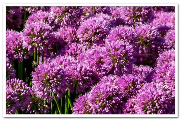 Allium Millenium, Ornamental Onion