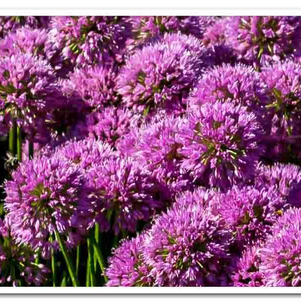 Allium Millenium Ornamental Onion