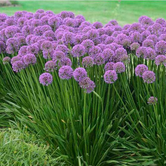 Allium Millenium, Ornamental Onion