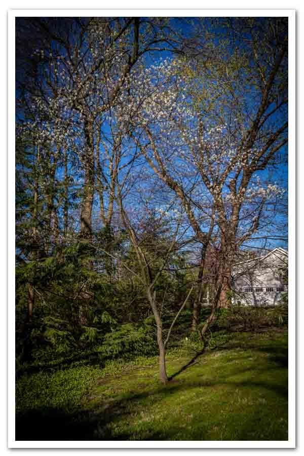Amelanchier arborea, Serviceberry