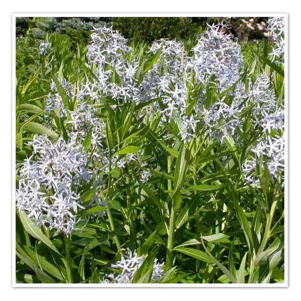 Amsonia illustris, Shining Blue Star