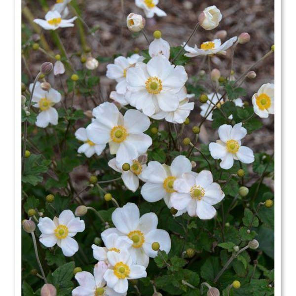 Anemone Honorine Jobert, Windflower