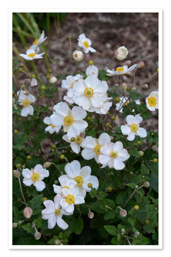 Anemone Honorine Jobert, Windflower