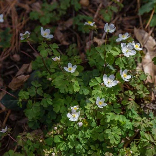 Anemonella thalictroides, Rue Anemone
