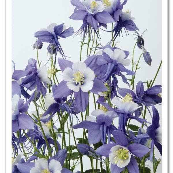 Aquilegia Swan Blue & White Columbine