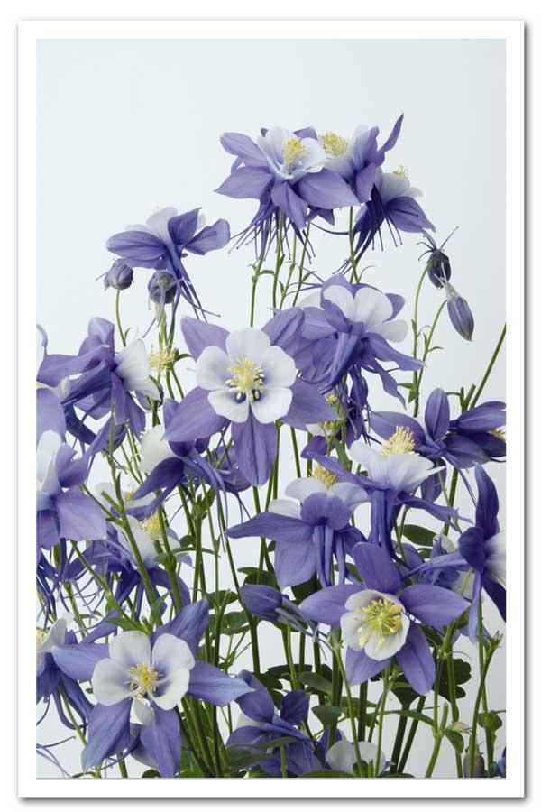 Aquilegia Swan Blue & White, Columbine