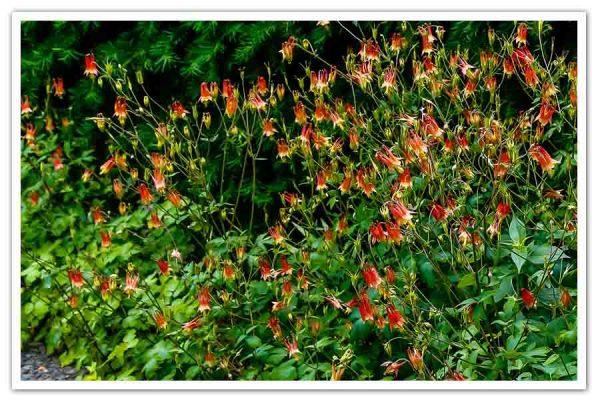 Aquilegia canadensis, Columbine