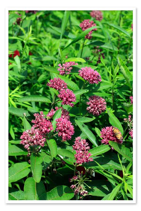 Asclepias purpurascens, Purple Milkweed