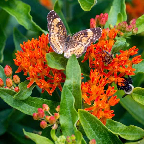Asclepias tuberosa Butterfly Milkweed