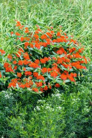 Our most popular Missouri native perennial, Butterfly Milkweed, Asclepias tuberosa, serves as an adult nectar source and a larval food source of the Monarch butterfly.