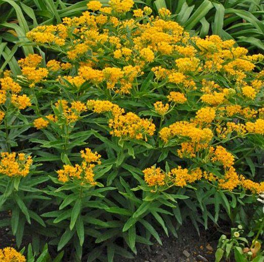 Asclepias tuberosa Hello Yellow, Butterfly Milkweed