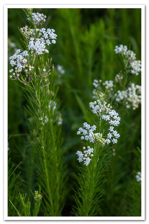 Asclepias verticillata, Whorled Milkweed